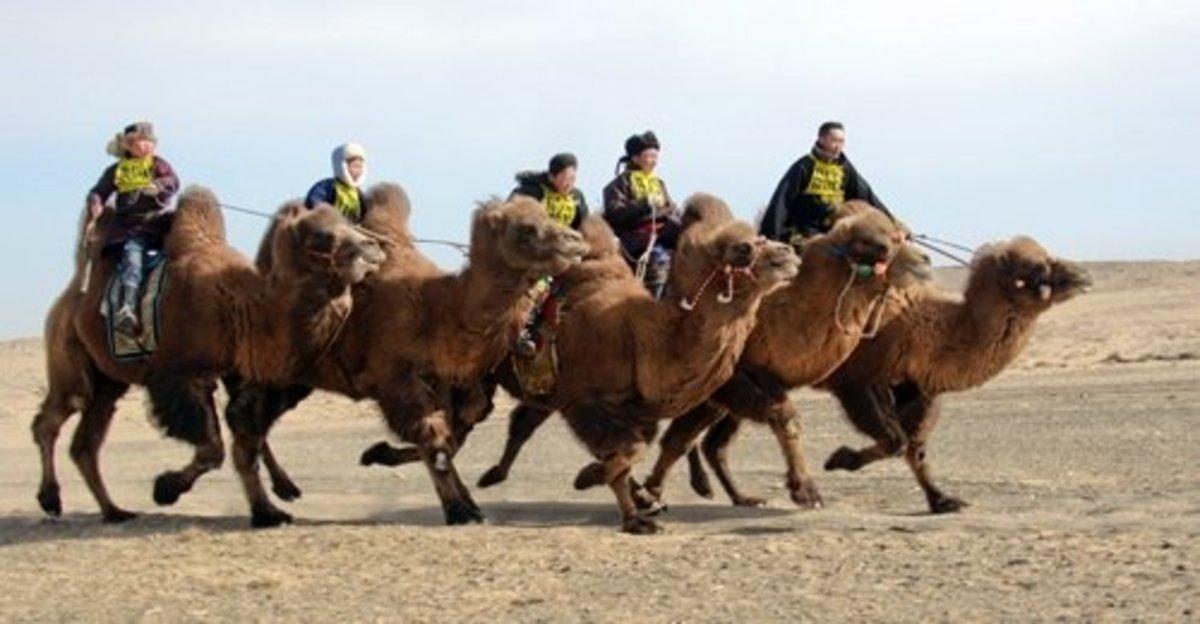 world-camel-day