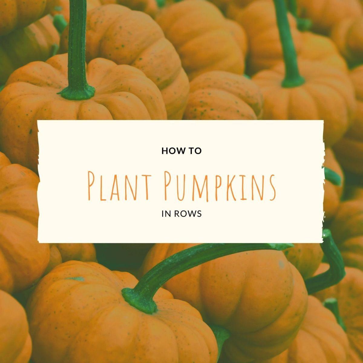 How to Plant Pumpkins: Rows vs. Hills