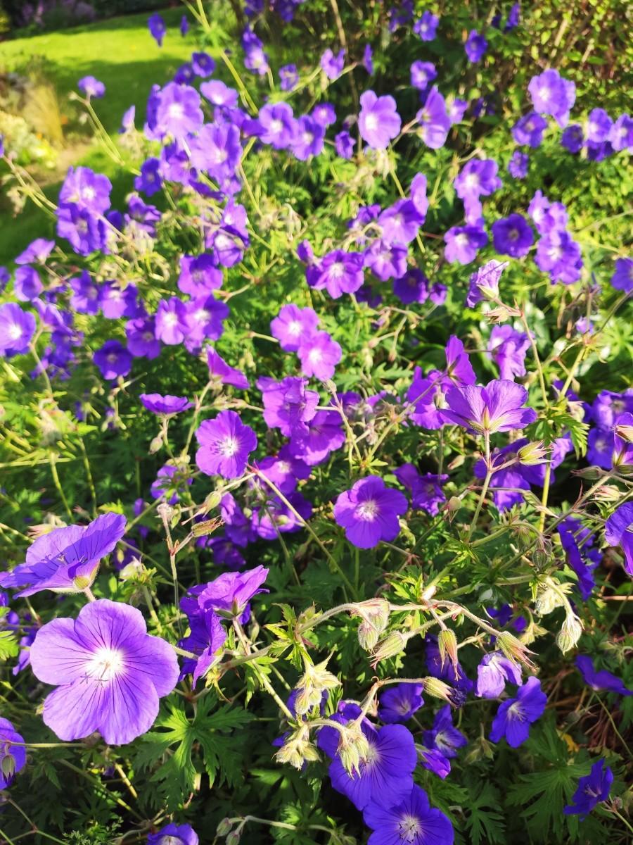 Geranium × johnsonii 'Johnson's Blue'