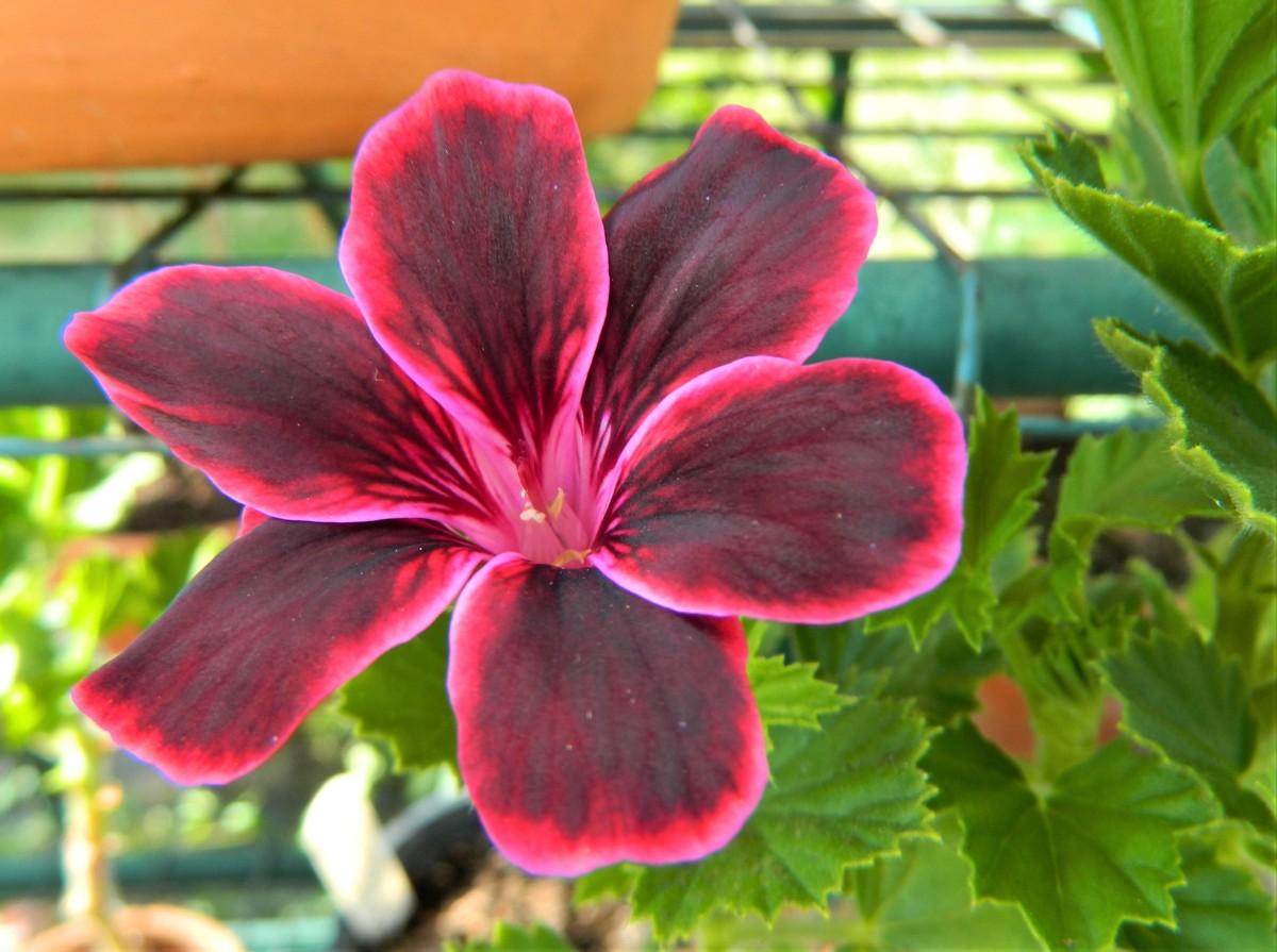 Pelargonium 'Lord Bute'