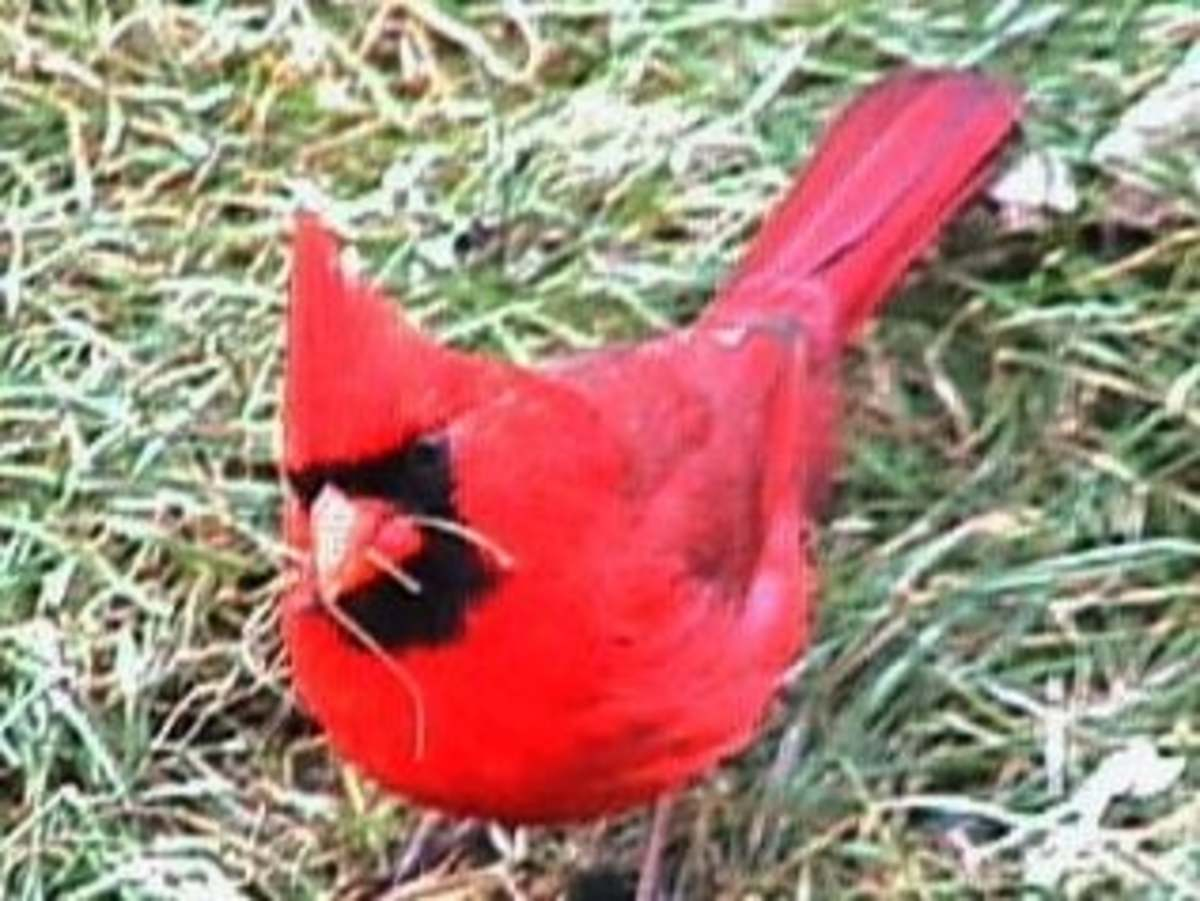 Is this the world's scariest cardinal; or, is it possibly the world's smartest?