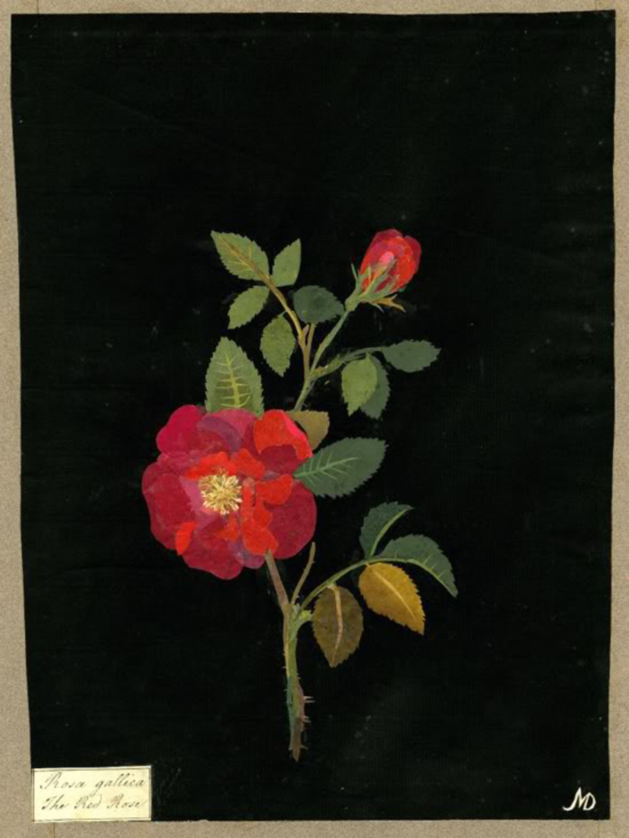 Mary Delany's Rose Collage