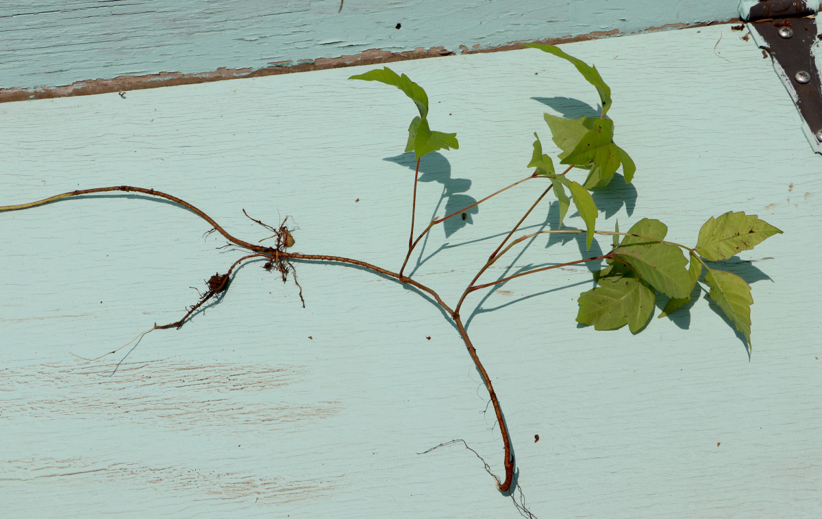 Pull poison ivy out by the roots to permanently remove any chance of regrowth.