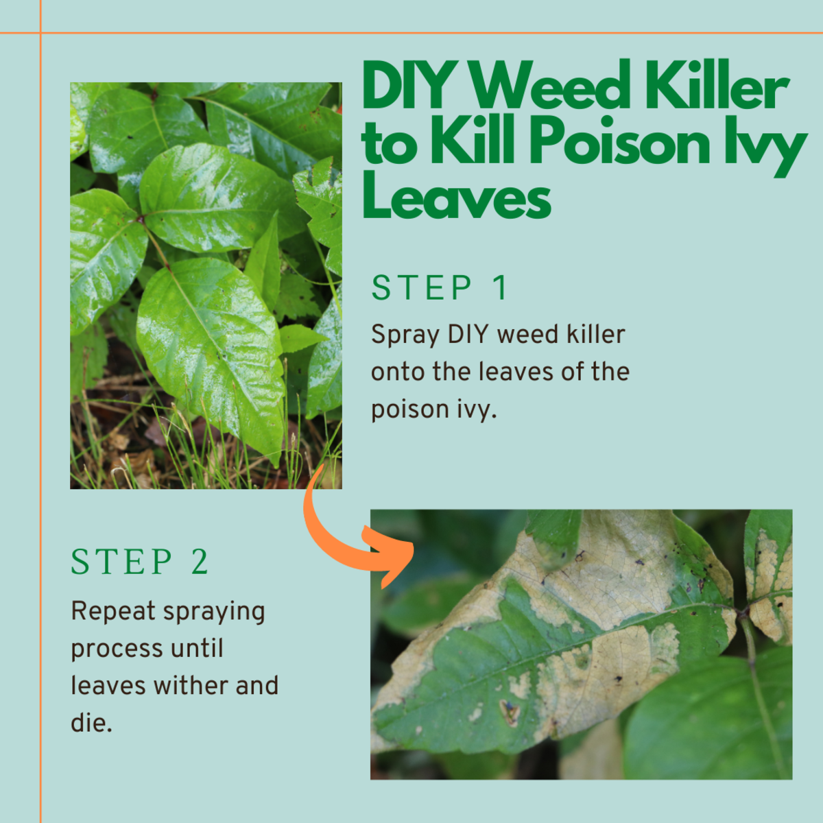 Use DIY weed killer to dehydrate poison ivy leaves and kill the top of the plant.
