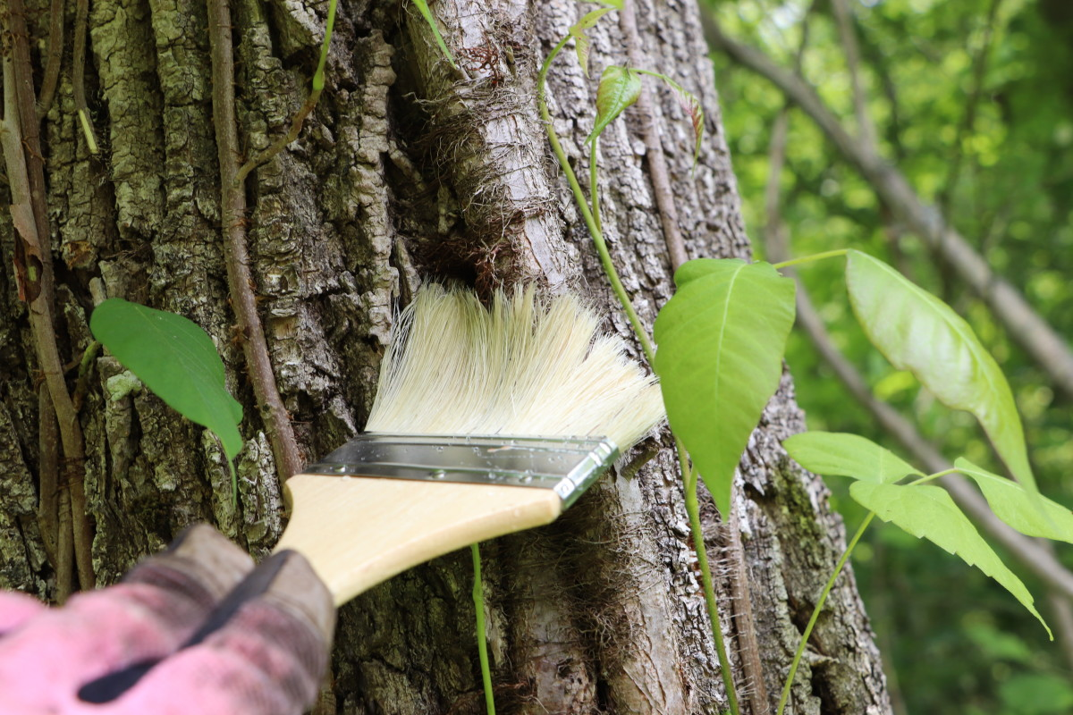 Triclopyr is an herbicide that will penetrate woody stems. Paint vine branches and stumps to cause the death of the growing plant. Repeated applications of Triclopyr will cause the roots of the poison ivy to die.