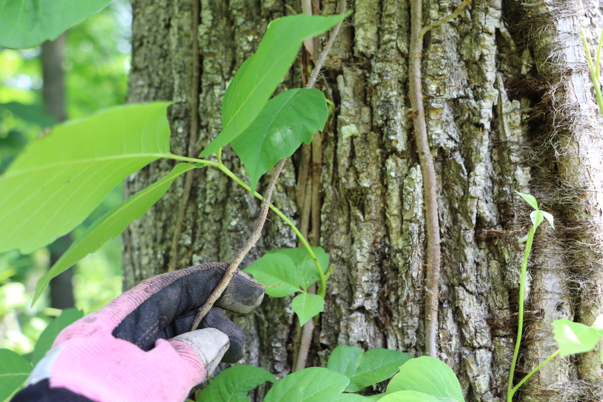 Pull poison ivy vines from trees they inhabit. For established vines, cut the vine approximately six inches above the soil level to cause the top of the vine to die, then pull the stump with roots from the ground.