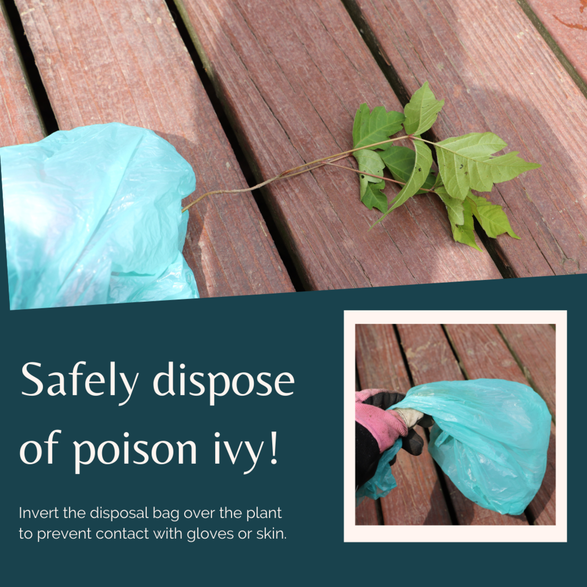 Grasp the plant with a plastic garbage bag and turn the bag inside-out to prevent any contact of the vine with exposed skin or gloves.