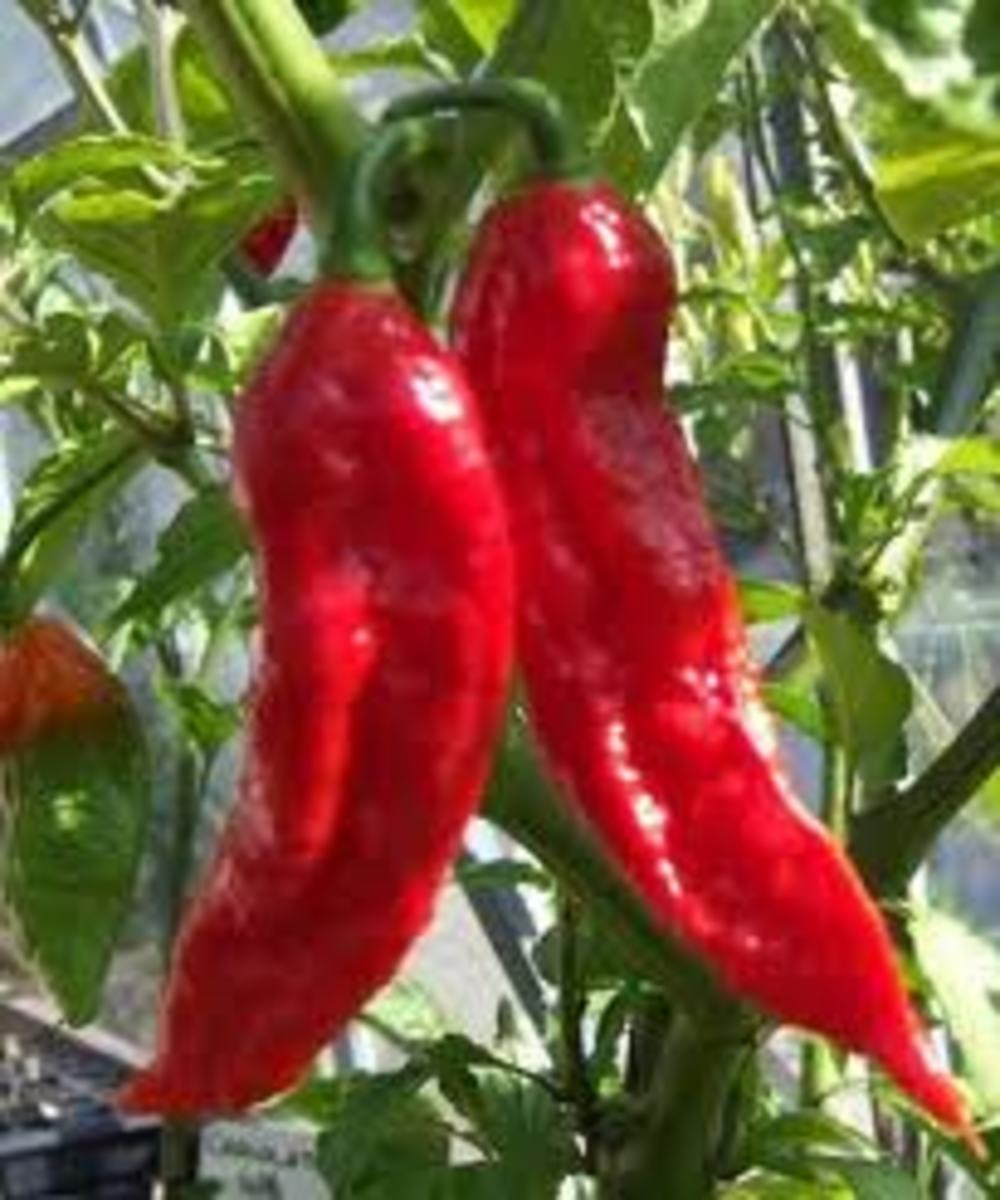 Top 10 Hot Peppers