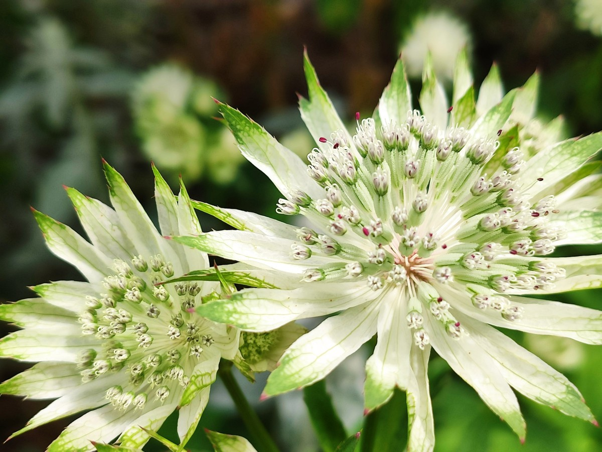 Though it may look dauntingly delicate, the beautiful Astrantia 'Superstar' is amazingly easy to grow.