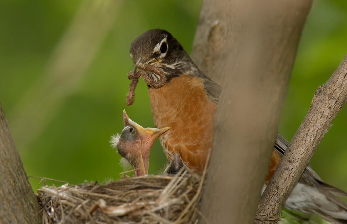 American robin in nest with chick and worm.