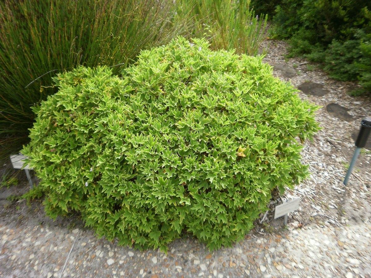 Pelargonium citronellum repels mosquitoes.