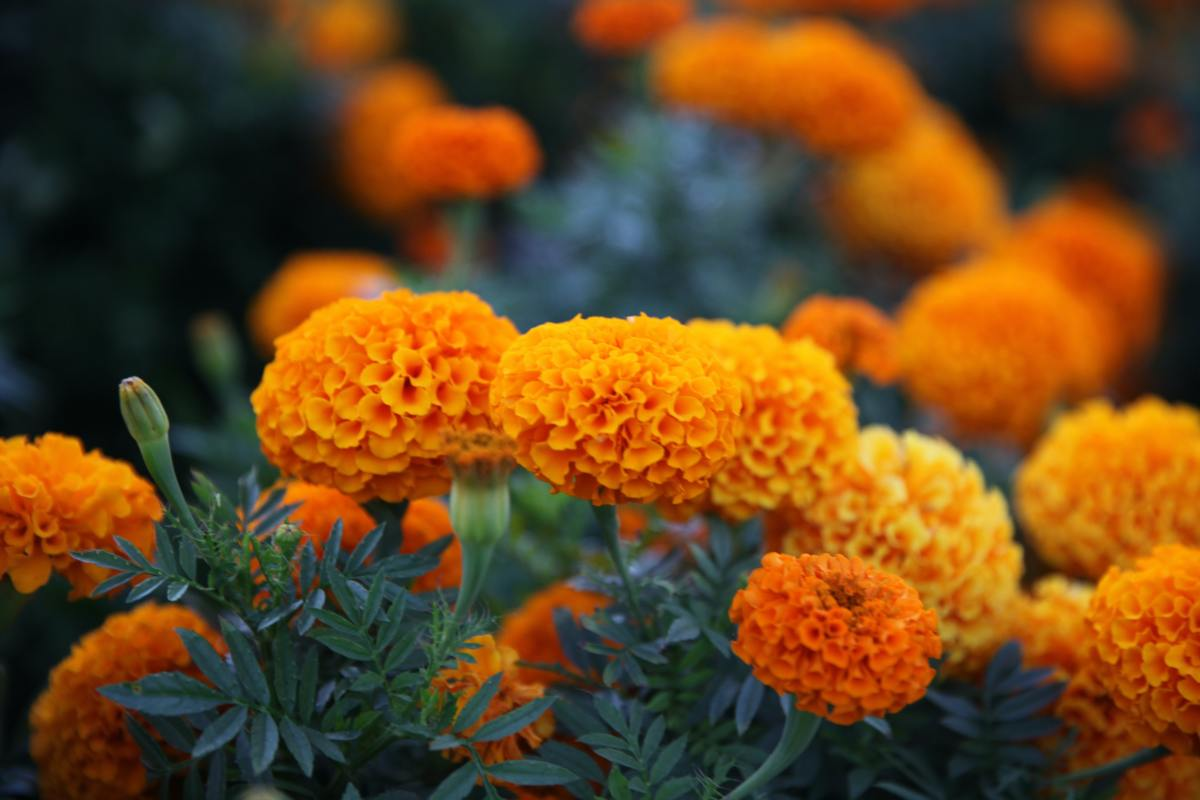 Marigolds contain an ingredient called thiophenes which insects find extremely unpleasant.