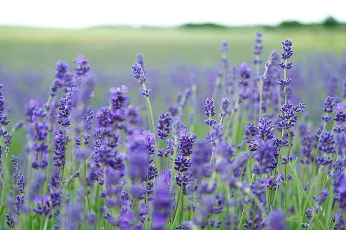 The scent of lavender confuses a mosquito's sense of smell.