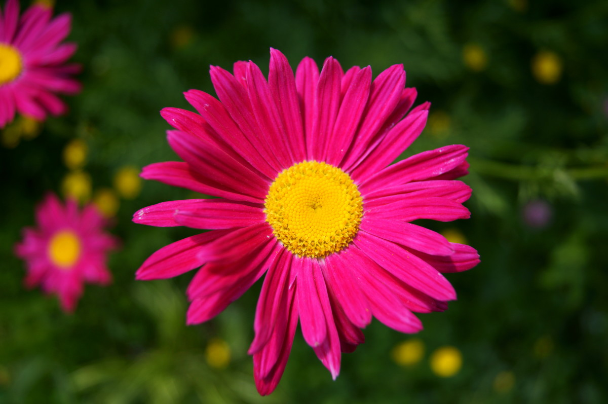 Painted daisies repel mosquitoes.