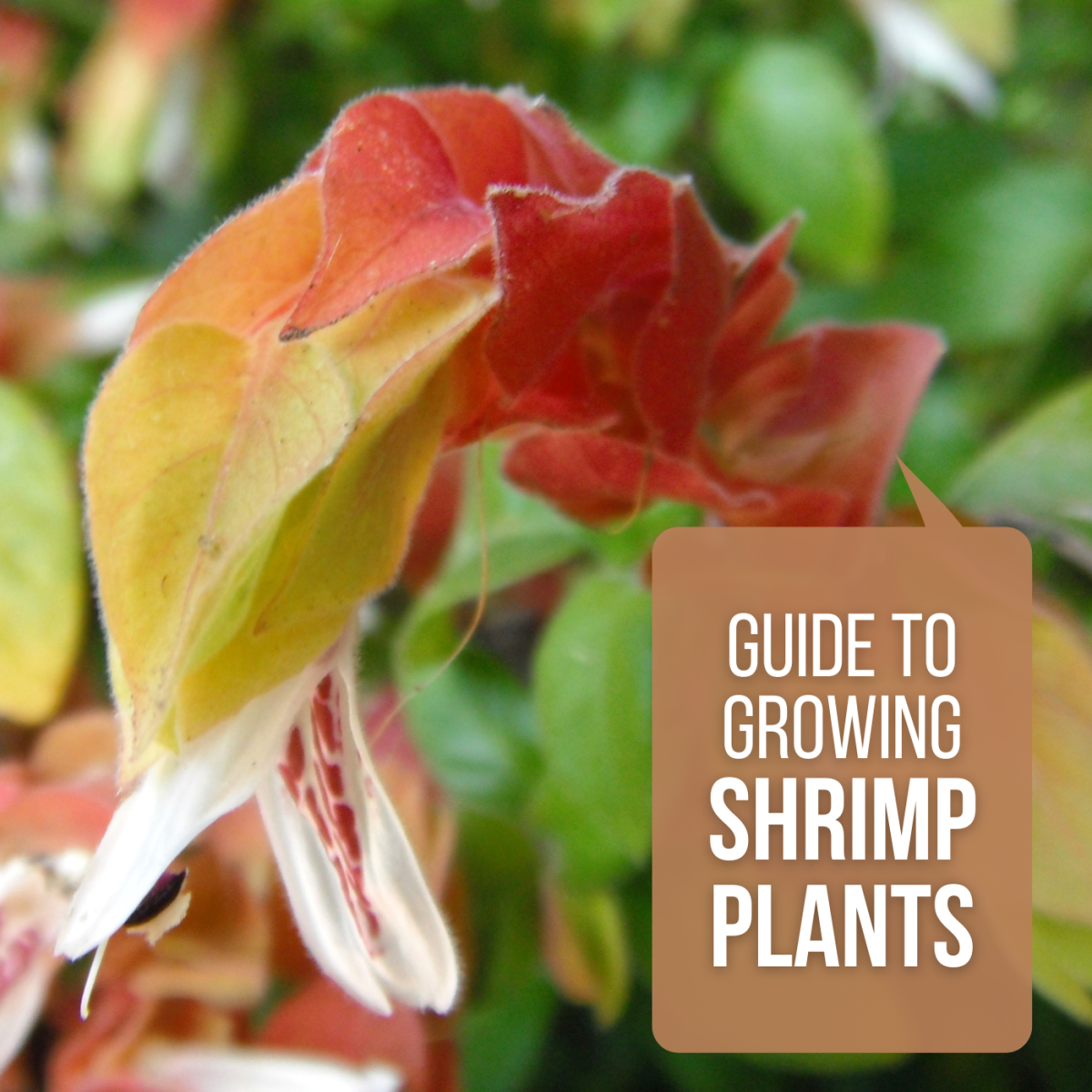 Guide to growing shrimp plants.