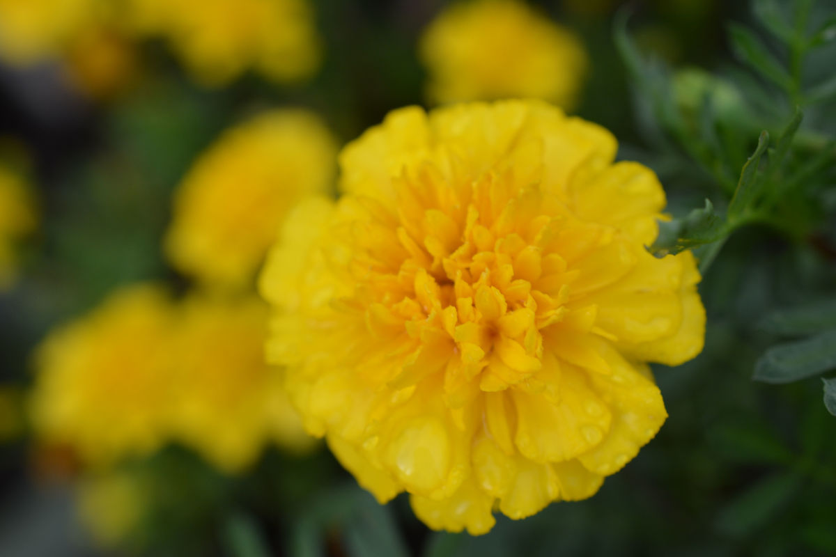 The dwarf lemon drop marigold is one of my favorites, and never lets me down.