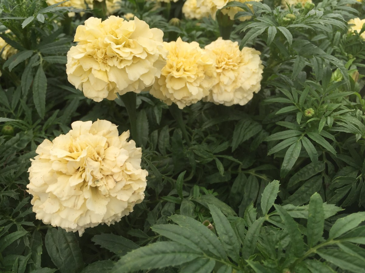 As you can see, the white marigold is not truly white, but it will be radiant in the moonlight.