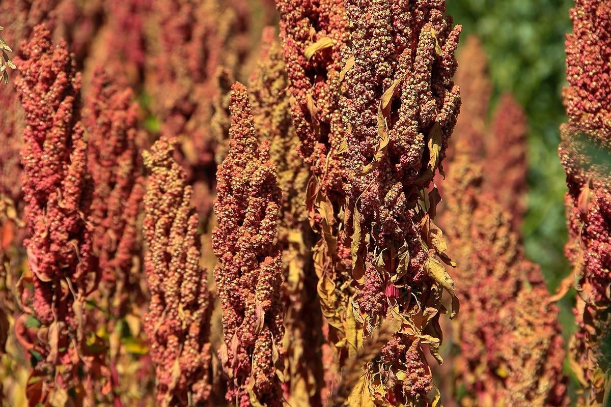 Quinoa growing on Isla del Sol, Lake Titicaca