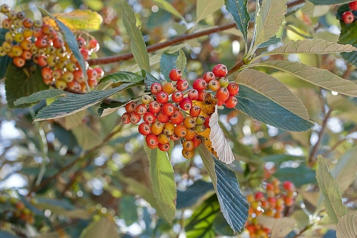 Berries of Sorbus aria, a European whitebeam