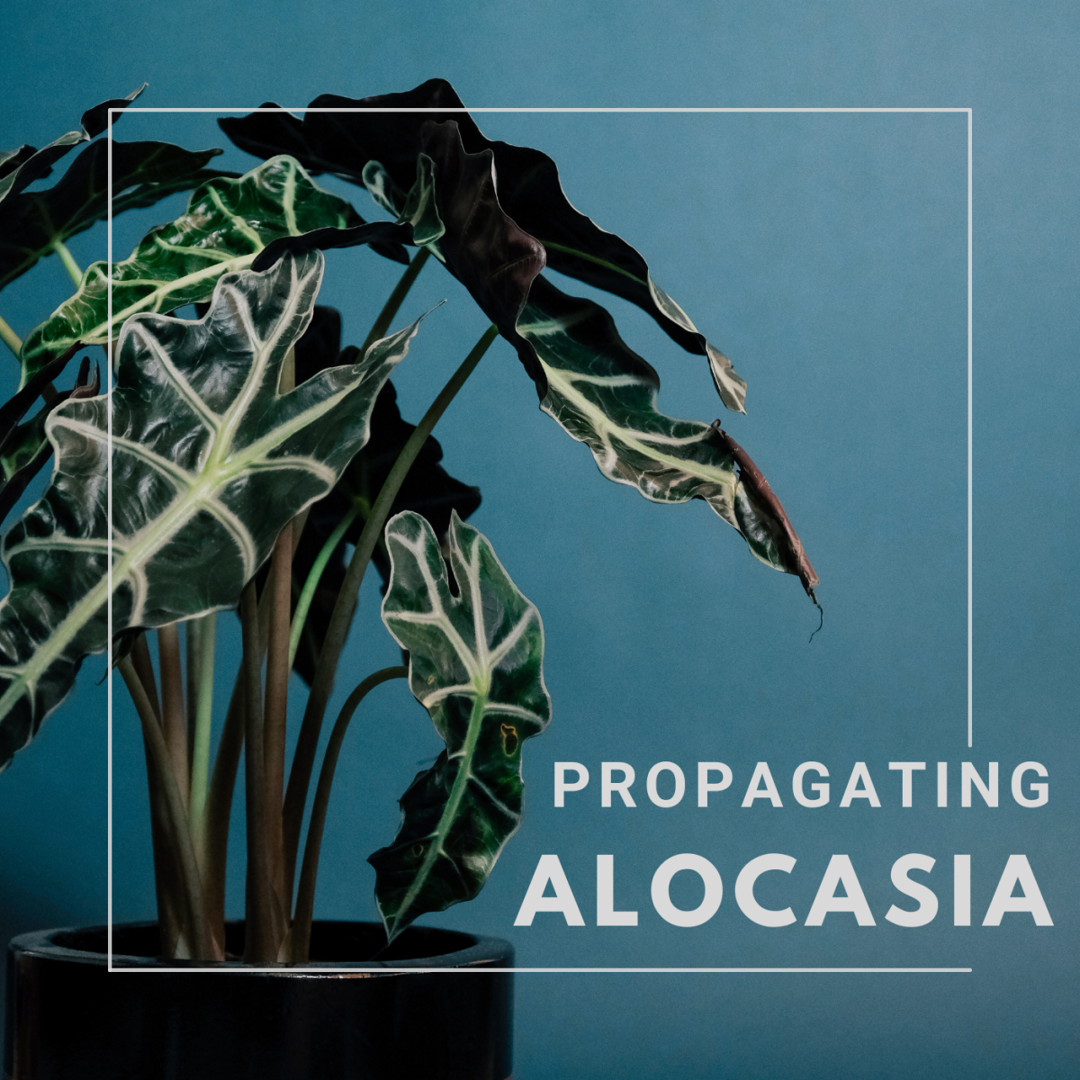 Learn how to propagate alocasia using the division method.