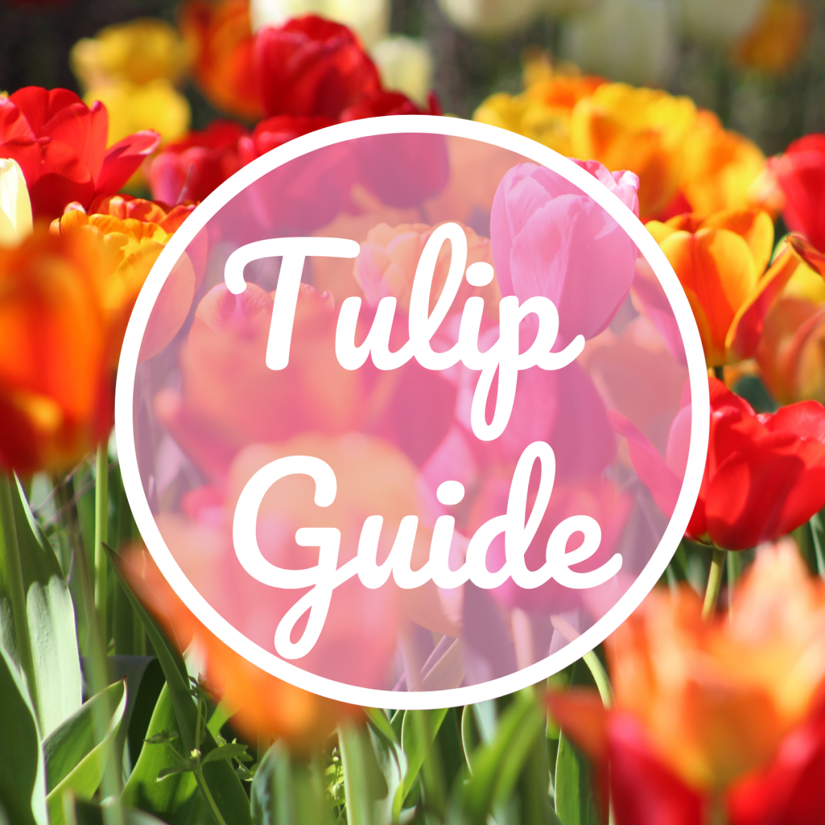 Tulip guide to flowering times and best perennial bulbs.