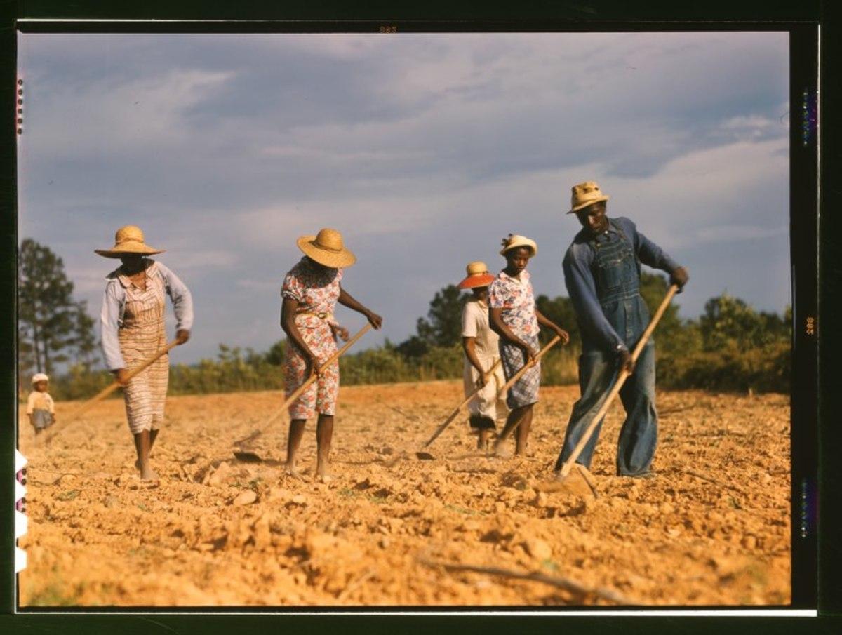 my-first-last-cotton-chopping-job