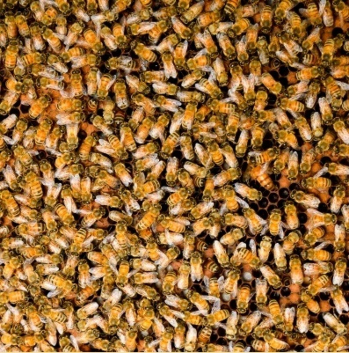 Why Bee Venom Therapy for Multiple Sclerosis?