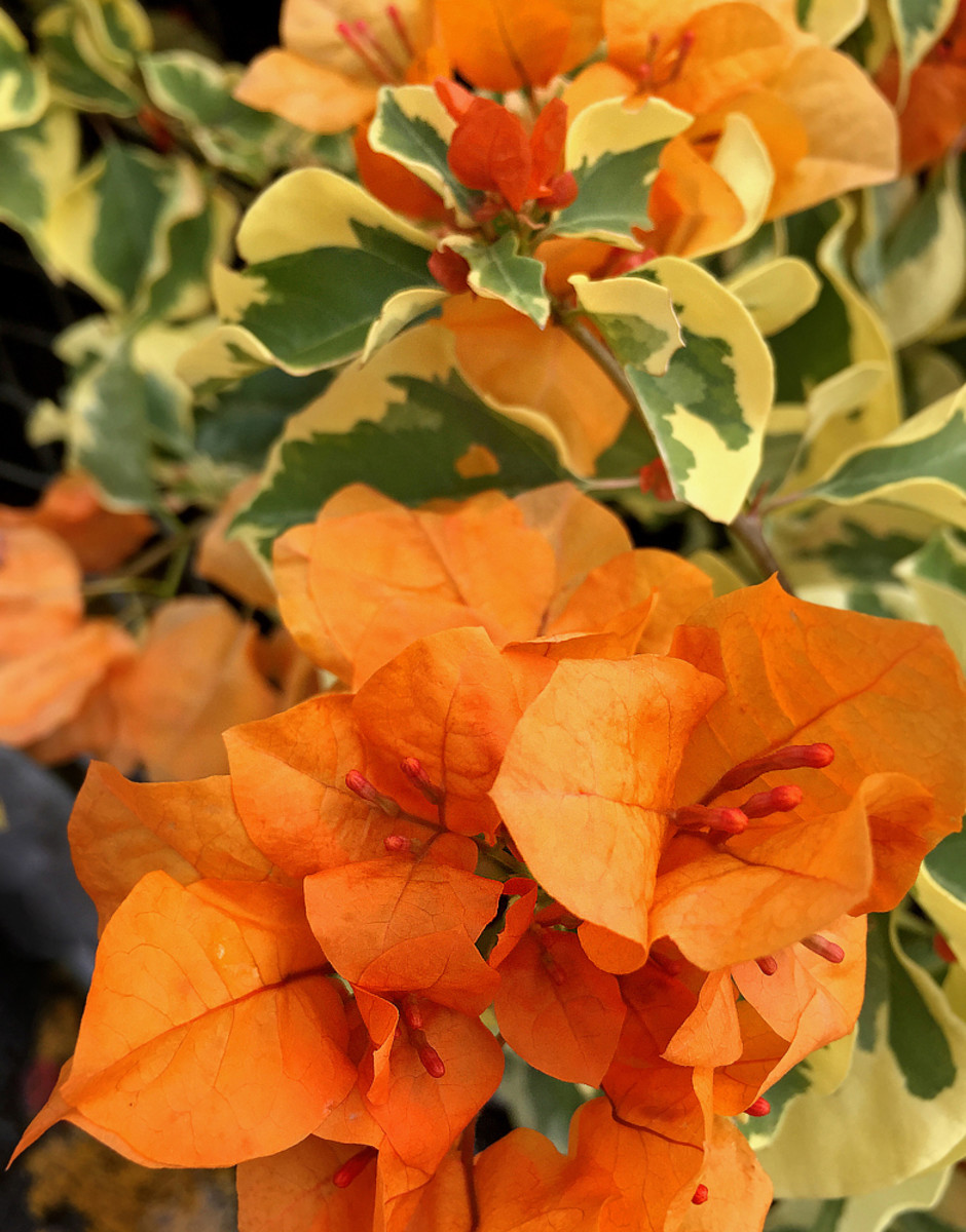 Bougainvillea 'Delta Dawn' with dainty, delicate orange bracts and variegated foliage.