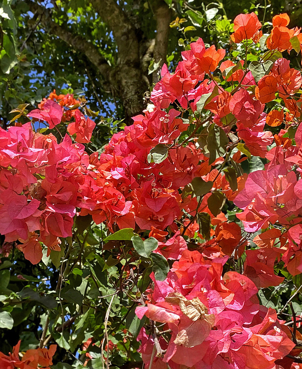 Bougainvillea 'Sundown Orange' features 3 stages of color - begins with fiery orange, turns to bright coral, then fades to salmon pink.