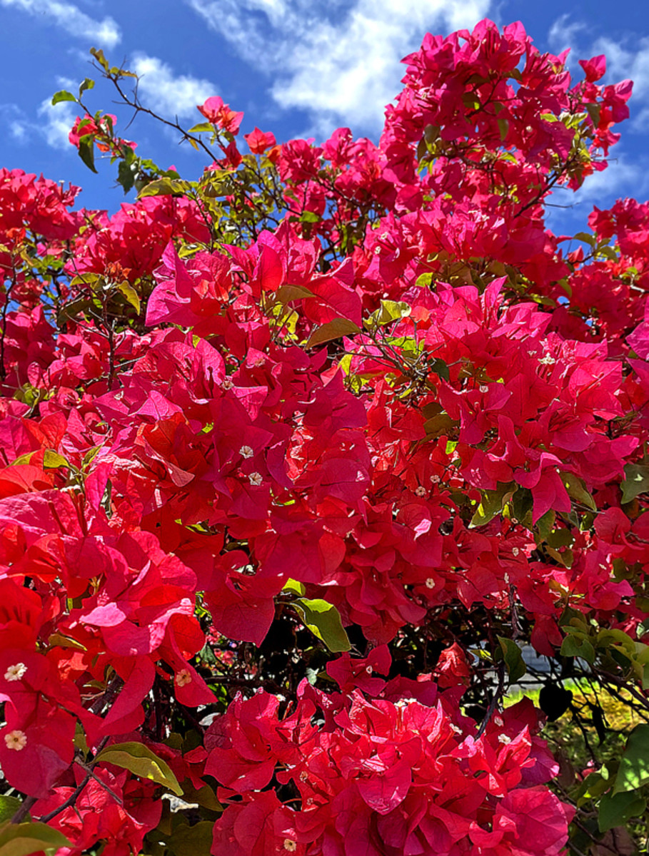 This flamboyant carmine pink variety is practically glowing under the sun.