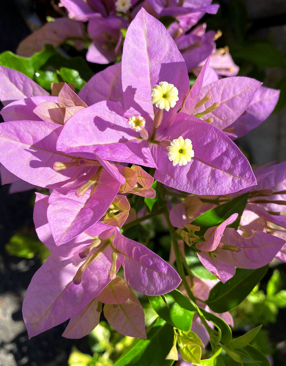 Bougainvillea 'Silhouette' with lilac pink bracts is a compact, bushy variety ideal for containers.