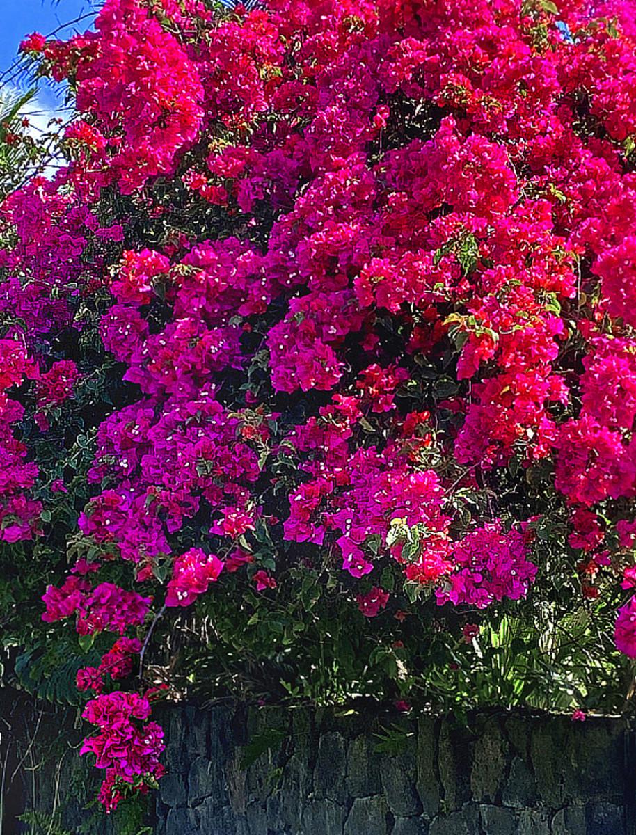 A glorious bougainvillea in full bloom.