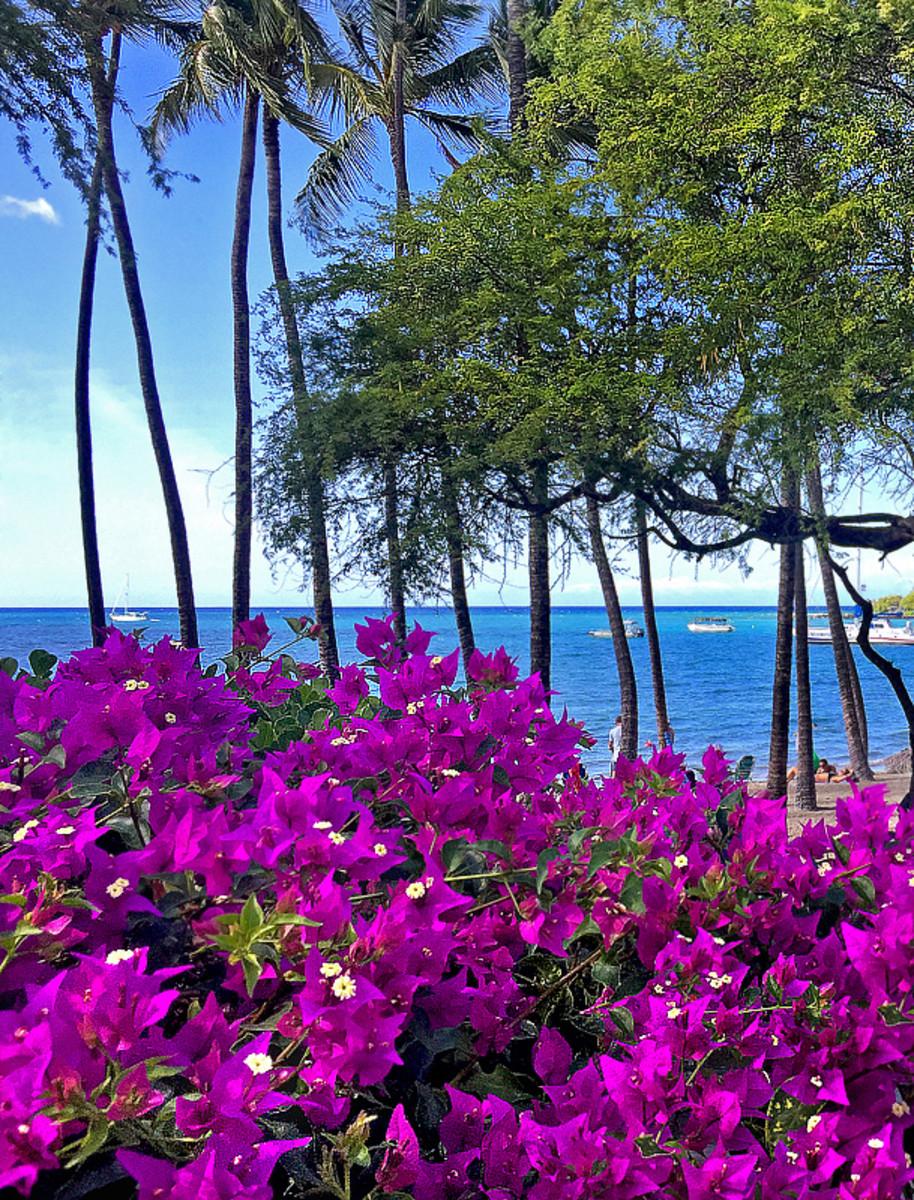 Bougainvillea 'Purple Queen' at Anaeho'omalu Bay on the Big Island of Hawaii.