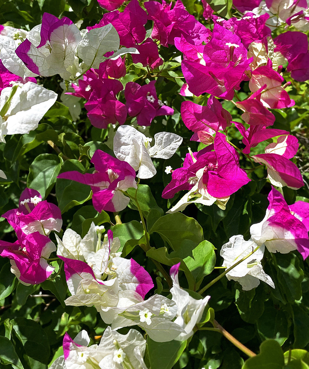 This bi-color cultivar shows off its fascinating bracts of white with magenta tip.