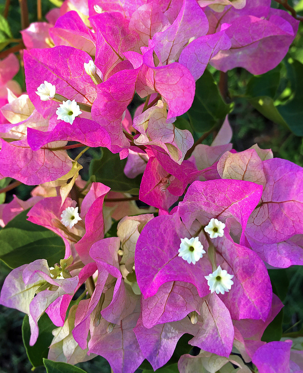Bougainvillea 'Imperial Thai Delight' with exquisite pale pink bracts.