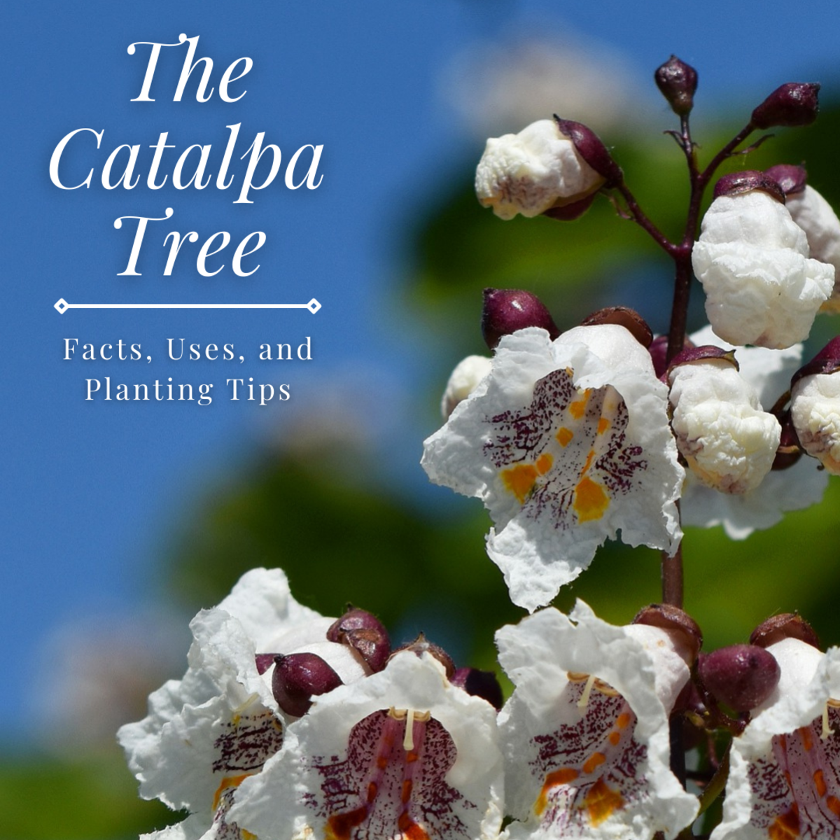 This guide will provide you with plenty of information about the catalpa tree, including growing tips and uses.