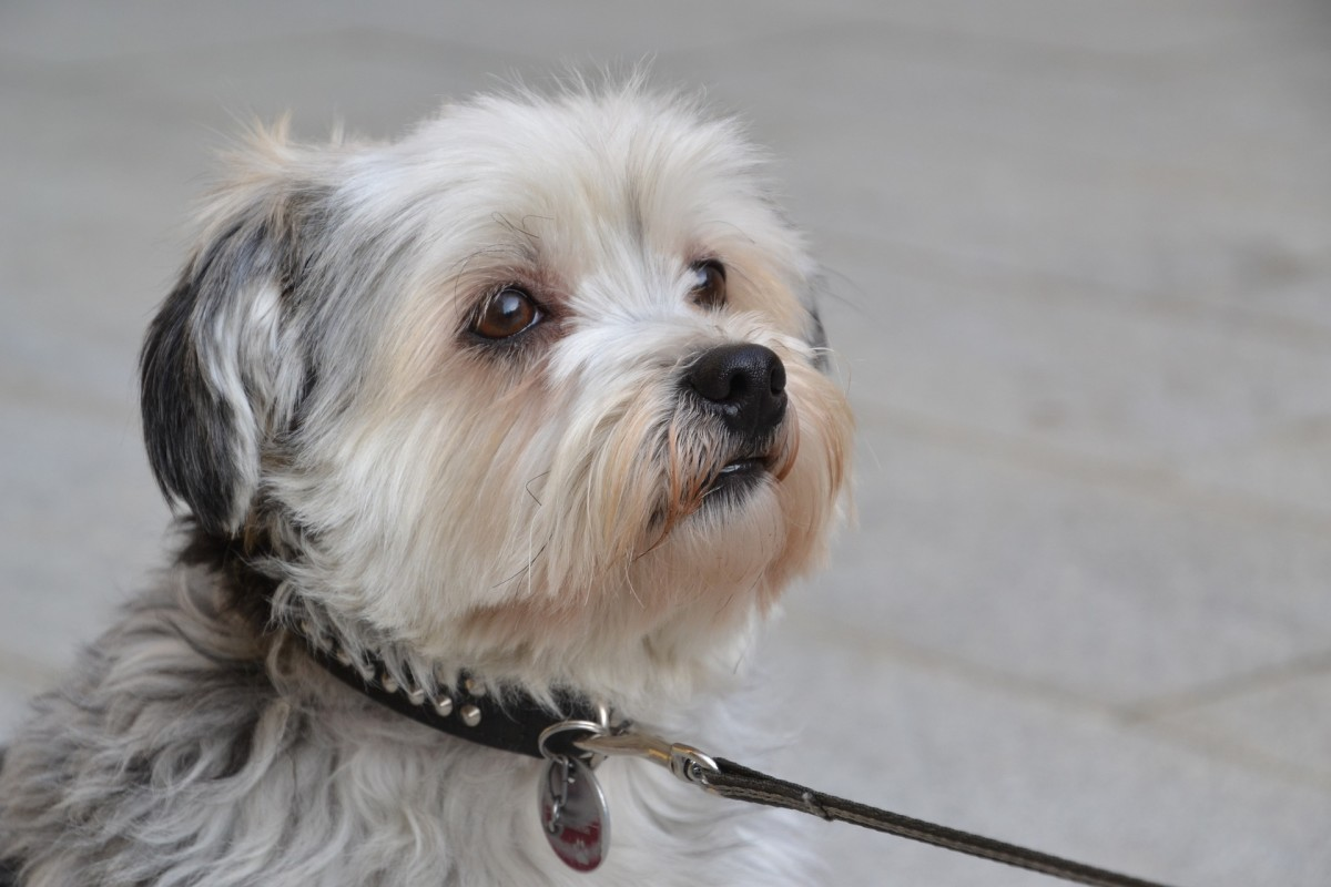 Top 5 Hypoallergenic Dog Breeds That Shed Less