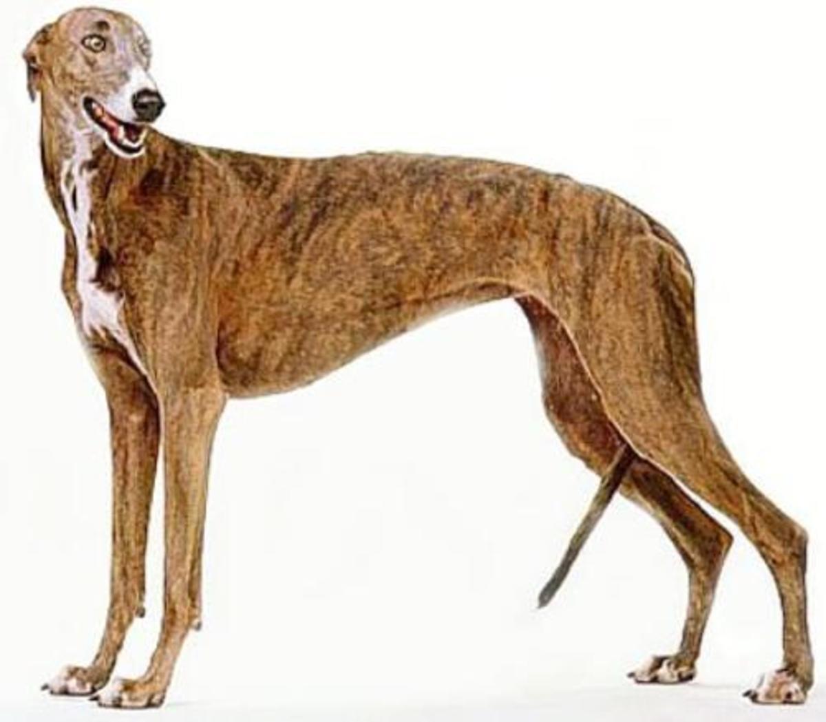 Greyhound 3