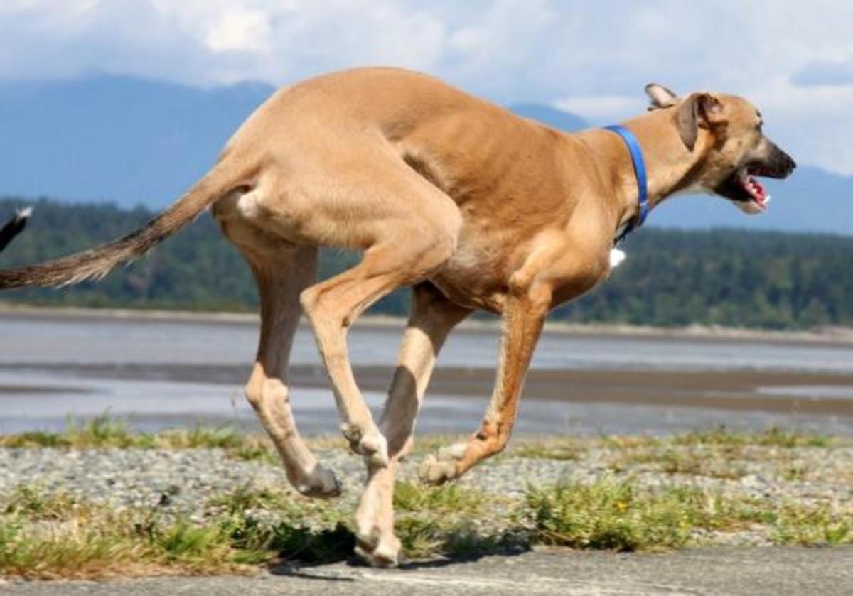 Greyhound 12