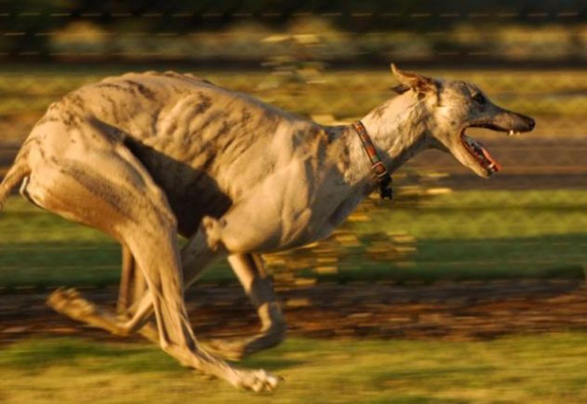 Greyhound 8