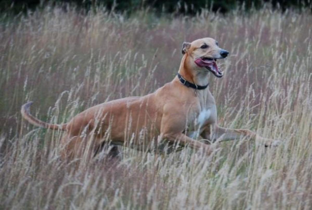 Greyhound 6