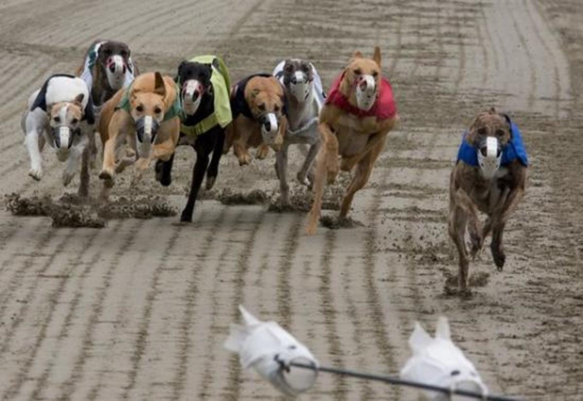 Greyhound 13