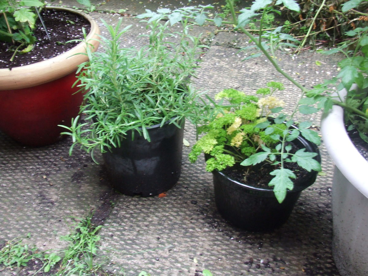 Rosemary and curly Italian parsley, between two cherry tomato plants.