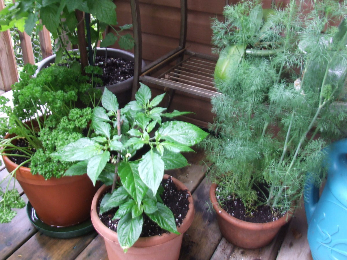 From left to right: cherry tomato (can only see the bottom of), curly Italian parsley, ghost pepper and dill.