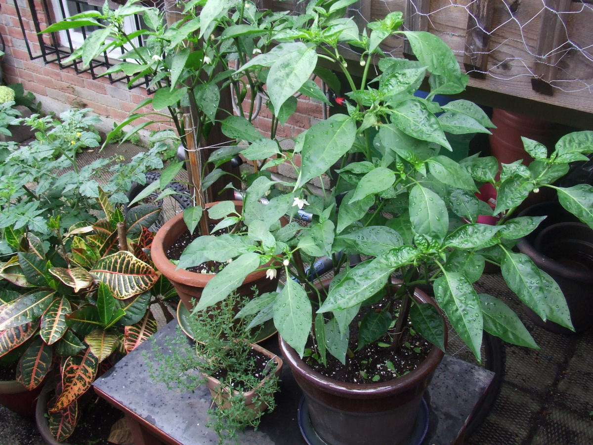 Jalapeno Peppers, French thyme in front of it, my colourful ficus on the ground next to the table and cherry tomatoes furthest to the left.
