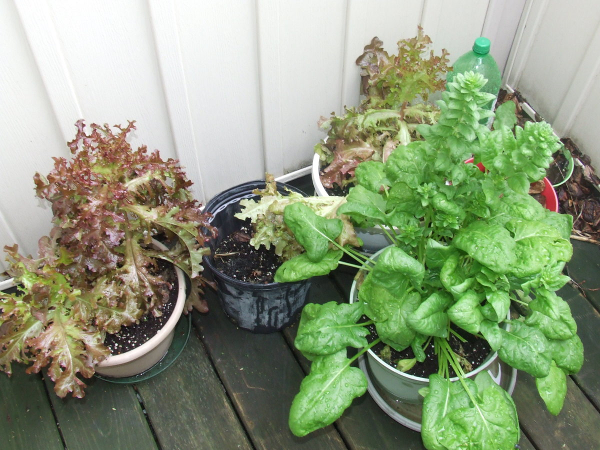 Red-leaf lettuce and spinach