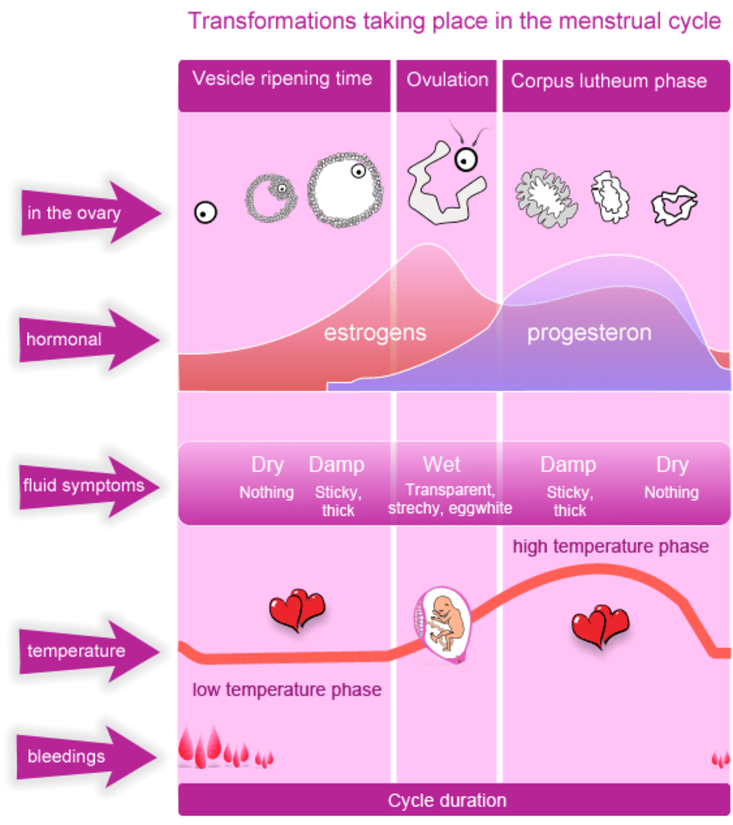 The Phases of Menstrual Cycle
