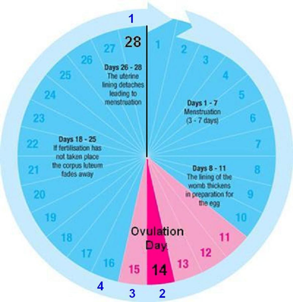 The Phases of Menstrual Cycle | HubPages