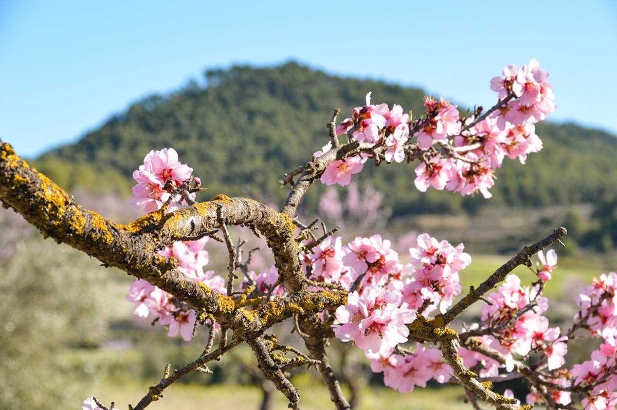Blossoms on an ancient almond tree