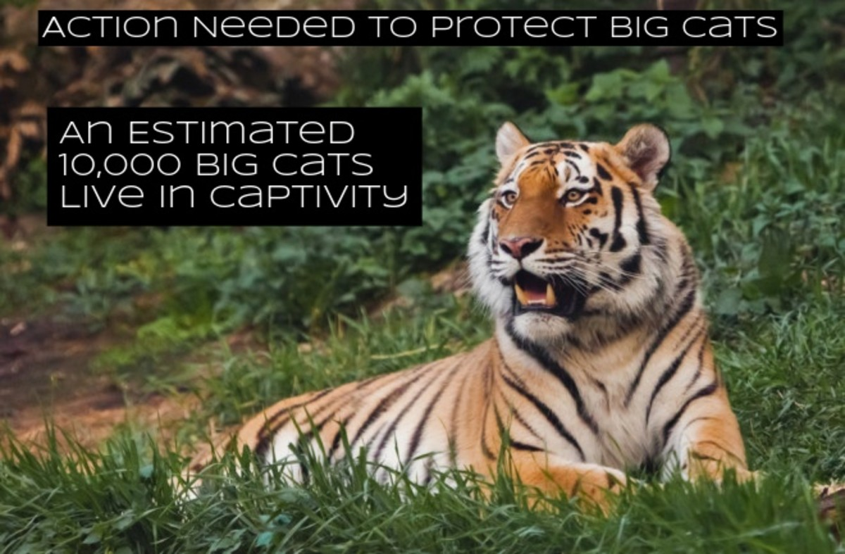 The Big Cat Public Safety Act would add protections for animals and prevent trading, it would end private ownership of big cats, and it would end cub petting.